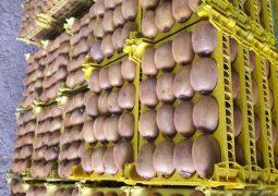 صادرات کیوی ایران