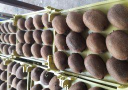 ۲۰۱۹۰۲۰۸ ۱۱۱۹۳۰ 1 255x180 - صادرات کیوی با بسته بندی تک ردیفه
