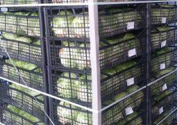 12 255x180 - صادرات گل کلم