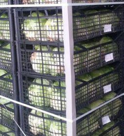 12 255x280 - صادرات گل کلم