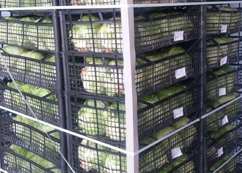 صادرات گل کلم